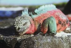Galapagos sneering iguana